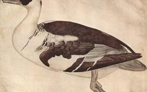 Picture watercolor, Duck, Pato, Antonio die Puccio Pisano