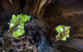 Picture tree, England, the hollow, oak, Sherwood forest