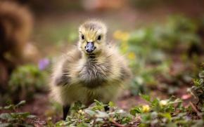 Picture nature, bird, chick, Gosling, Canada Gosling