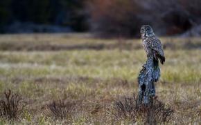 Picture owl, bird, log