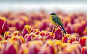 Picture bird, tulips, baby
