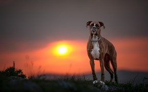 Picture sunset, dog, Boxer
