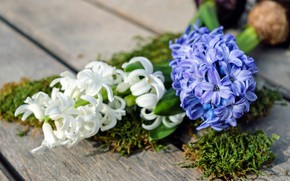 Picture flowers, moss, hyacinths