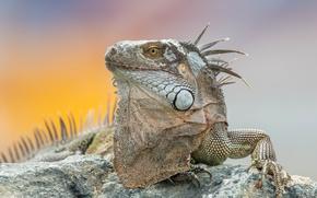 Wallpaper iguana, background, nature