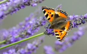 Picture macro, butterfly, lavender, animal