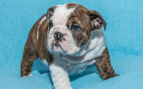 Picture background, dog, baby, puppy, English bulldog