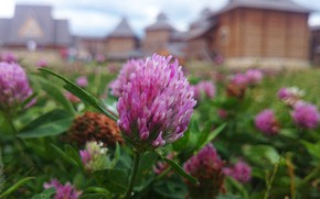 Picture summer, macro, flowers, clover