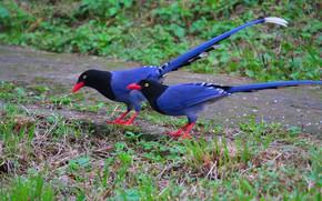 Picture Birds, pair, blue