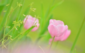 Picture field, nature, Tulip, petals, meadow