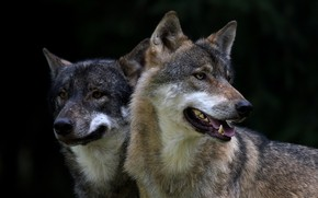 Picture pair, wolves, grey