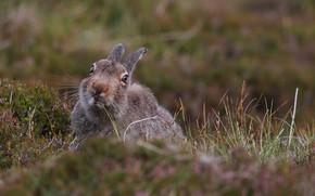 Picture nature, Grass, Hare