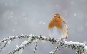 Wallpaper winter, bird, branch, Robin