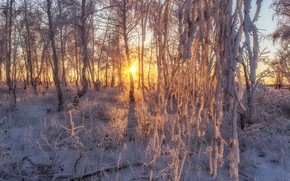 Picture frost, the sun, snow, trees, frost