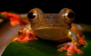 Picture animals, eyes, look, macro, close-up, sheet, green, leaf, frog, legs, muzzle, red, black background, pupils, …