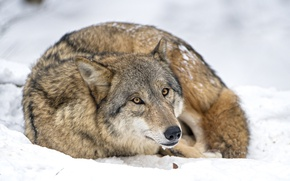 Picture snow, wolf, predator