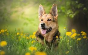 Picture greens, dog, bokeh, shepherd