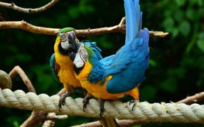 Picture love, nature, kiss, pair, parrots, ary