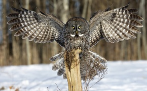 Picture winter, look, snow, owl, wings