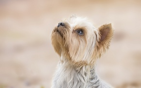 Picture background, dog, face, doggie, Yorkshire Terrier