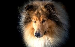 Picture face, portrait, dog, wool, black background, Collie