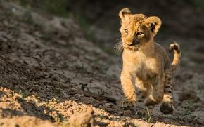 Picture Leo, walk, kitty, lion