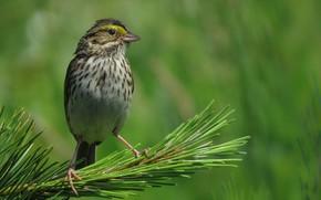 Picture nature, bird, beak, this Savannah Sparrow