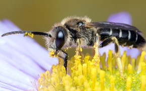 Picture flower, eyes, macro, yellow, bee, background, pollen, muzzle, insect, antennae, pollinator
