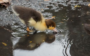 Picture water, puddle, duck