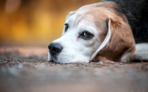 Picture look, face, dog, bokeh, Beagle