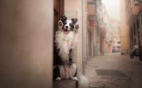 Picture each, street, dog, The border collie