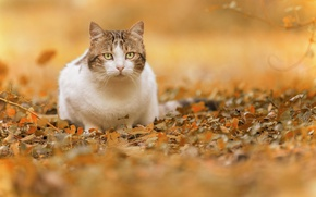 Picture autumn, cat, look, leaves, bokeh