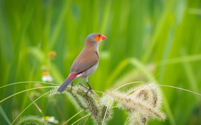 Wallpaper birds, orangesodaking astrild, bokeh