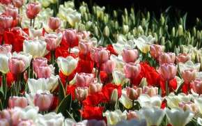 Picture tulips, buds, a lot