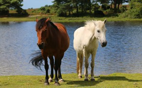 Picture water, trees, nature, river, shore, two, horses, horse, blonde, pair, brown hair, pond, horses