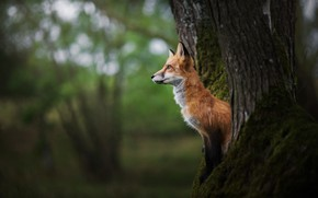 Picture tree, Fox, red