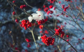Picture cold, winter, snow, branches, red, berries, tree, frost, red, Rowan, branches in the snow