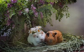 Picture chamomile, pair, wreath, acacia, Guinea pigs