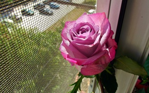 Picture Window, Rose, Pink rose, Pink rose