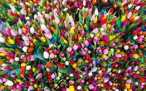 Picture congratulations, tulips, paint, for all Tatiana, flowers