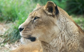 Picture face, background, lioness