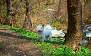 Picture Nature, Dog, Dog, nature, The West highland white Terrier