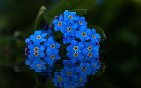 Wallpaper forget-me-nots, reflection, water, macro