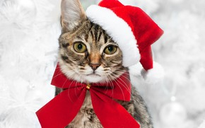 Picture cat, look, new year