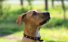 Picture look, background, dog, pit bull