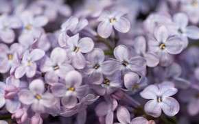 Picture macro, flowers, lilac, spring, Lilac