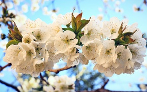 Picture cherry, spring, flowering, flowers