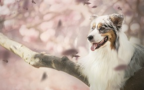 Wallpaper dog, petals, bokeh, Australian shepherd, Aussie