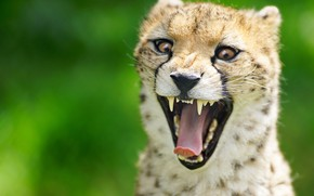 Wallpaper language, wild cat, Cheetah, face, mouth, background, teeth