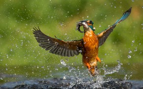 Picture water, drops, bird, fish, Kingfisher, catch