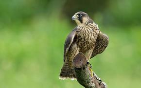 Wallpaper peregrine, predator, birds